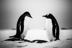 两只相同企鹅休息 免版税库存照片