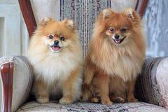 两只相当pomeranian小狗在一把大扶手椅子坐 免版税图库摄影