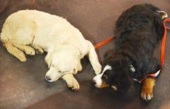 两只睡觉猎犬 库存图片