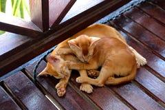两只睡觉红色猫 免版税库存图片