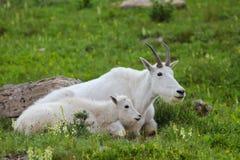 两只石山羊成人和婴孩在绿色草甸紧挨着放置在冰川国家公园蒙大拿 免版税库存图片