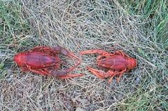 两只红色小龙虾 免版税库存图片
