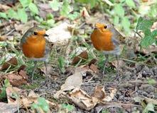 两只红色知更鸟 免版税库存照片