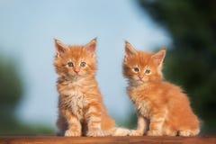 两只红色缅因浣熊小猫 库存照片