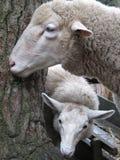 两只绵羊临近树 免版税库存照片