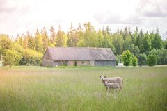 两只绵羊从站立在草甸中间的牧群丢失了 免版税库存图片