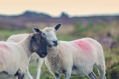 两只绵羊势均力敌拥抱在风景山地 库存照片