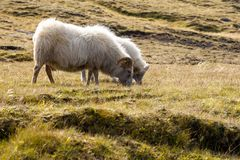两只绵羊吃草在草甸的,野生生物冰岛 免版税库存图片