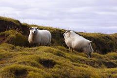 两只绵羊吃草在草甸的,野生生物冰岛 库存照片