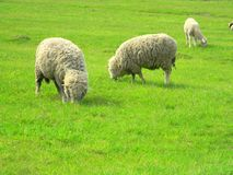 两只绵羊和羊羔在一个绿色领域吃草 免版税库存图片