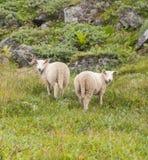 两只绵羊在反对一个岩石倾斜的一个草甸 免版税库存图片