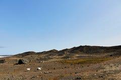 两只绵羊在吃草 免版税库存图片
