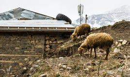 两只绵羊在山解决Khinalig,阿塞拜疆 免版税图库摄影