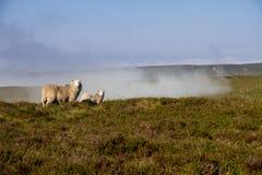 两只绵羊在道路旁边的A有薄雾的早晨在布雷肯比肯斯山国家公园 免版税图库摄影