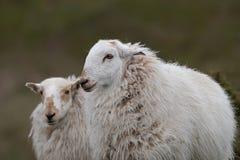 两只绵羊画象  免版税库存图片
