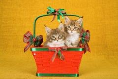两只缅因浣熊小猫在红色圣诞节篮子里面坐金背景 免版税库存照片