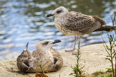 两只罗马海鸥 库存图片