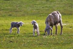 两只羊羔和绵羊在牧场地 库存图片