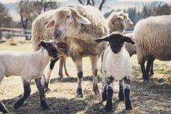 两只羊羔和绵羊在一个动物农场,动物保护 库存图片