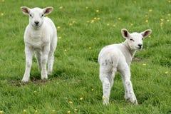 两只羊羔在草甸 库存照片