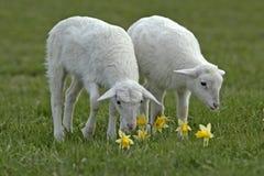 两只羊羔在草甸 免版税库存照片
