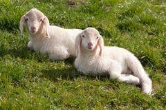 两只羊羔看 图库摄影