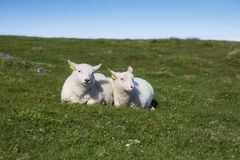 两只羊羔 免版税库存图片