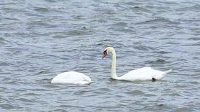 两只美丽的天鹅游泳 影视素材