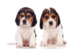 两只美丽的小猎犬小狗 库存图片