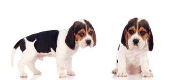 两只美丽的小猎犬小狗 库存照片