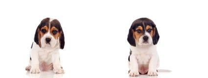 两只美丽的小猎犬小狗 免版税图库摄影