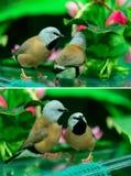 两只美丽的小的鸟 免版税图库摄影