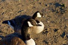 两只美丽的幼小加拿大鹅特写镜头  免版税库存照片