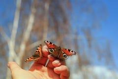 两只美丽的易碎的蝴蝶在手中坐和去f 库存图片