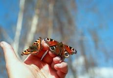 两只美丽的易碎的蝴蝶在手中坐手指并且是 免版税库存图片