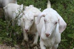两只美丽的母山羊 免版税库存照片