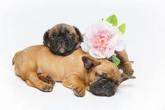 两只美丽的法国牛头犬小狗 免版税图库摄影
