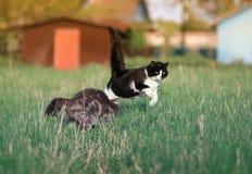 两只美丽的滑稽的逗人喜爱的猫是乐趣和快速的赛跑和战斗 图库摄影