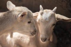 两只美丽的矮小的白色山羊 库存照片
