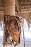 两只美丽的谷仓猫头鹰 谷仓猫头鹰是猫头鹰的广泛分布的种类 库存照片
