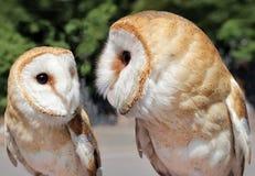 两只美丽的谷仓猫头鹰 免版税图库摄影