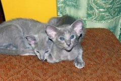 两只美丽的迷人的紫罗兰色东方小猫 库存图片