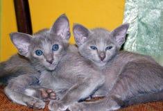 两只美丽的迷人的紫罗兰色东方小猫 免版税库存图片