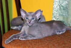 两只美丽的迷人的紫罗兰色东方小猫 免版税库存照片