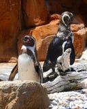 两只美丽的逗人喜爱的企鹅鸟 库存图片