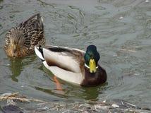 两只美丽的鸭子在早期的春天 免版税库存图片