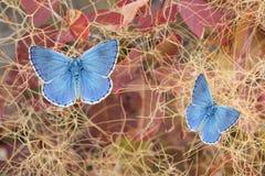 两只美丽的蝴蝶,在黄栌属植物灌木的polyommatus色情在a 免版税库存照片