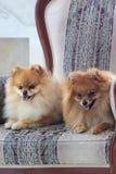 两只美丽的pomeranian小狗在一把大扶手椅子在 免版税库存照片