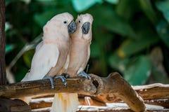 两只美冠鹦鹉 免版税图库摄影