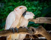 两只美冠鹦鹉 免版税库存图片